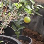 Ripening Orange